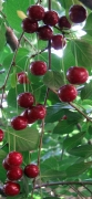 Cherry,Fruits,Red,Leaf,Plant,,Branch