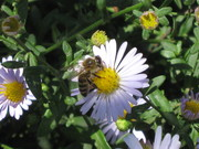 Flower,Insect,Bee,Green,{ბოტანიკა} Camomile,Yellow,Grass