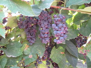 Grapes,Bunch Of Grapes,Leaf,Green,Vineyard
