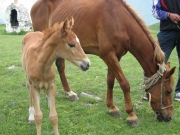 Foal,Horse,Descendant, Offspring,House, Home, Domestic,Animal,Flesh-coloured,Hair